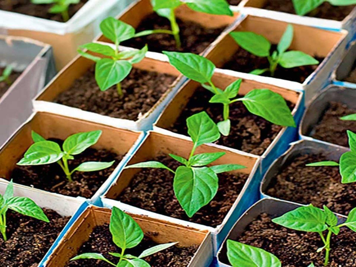 Когда сеять перец на рассаду: вот как вырастить здоровую рассаду перца в квартире. | красивый дом и сад