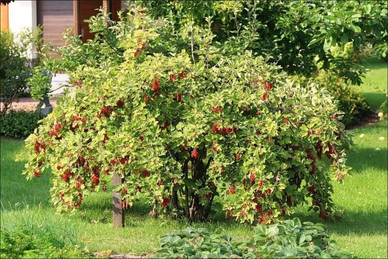 Красная смородина ненаглядная: основные характеристики сорта
