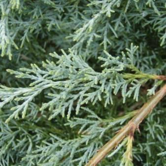 Можжевельник виргинский: лучшие сорта, особенности посадки и ухода
