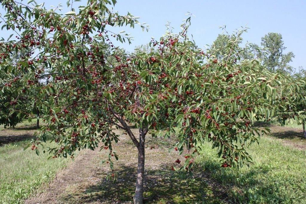 Высокоурожайный и морозостойкий технический сорт — вишня тургеневка