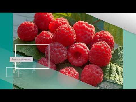 Крупноплодная ремонтантная малина нижегородец: основные характеристики