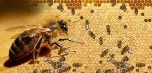 Описание пчел карника