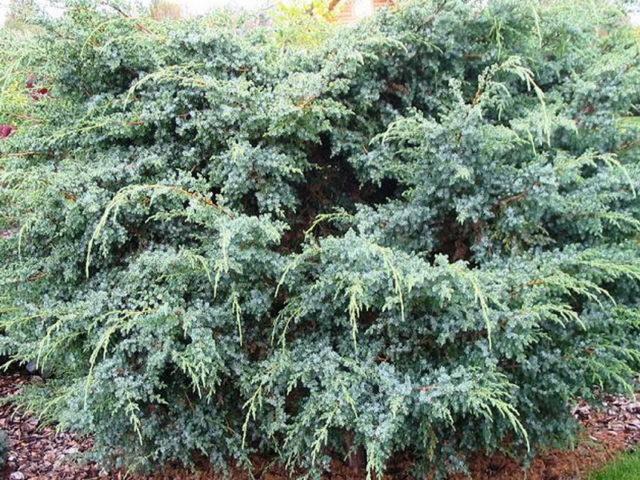 Можжевельник чешуйчатый голден флейм (juniperus squamata golden flame)