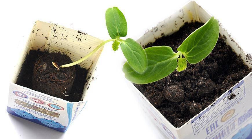 Как сажать рассаду огурцов в торфяные горшочки и таблетки? преимущества и недостатки такой тары, правила посадки и ухода за молодыми растениями