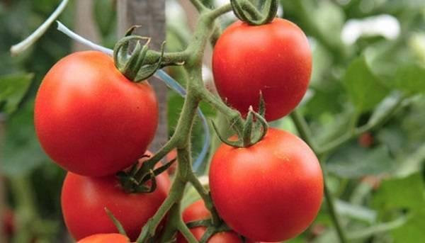 Штамбовые сорта томатов: для открытого грунта и теплиц