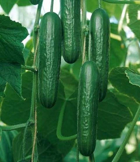 Высокоурожайный новичок из корейской селекции — огурец арктика f1: описание сорта