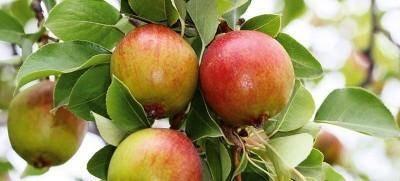 Груша северянка: описание сорта, характеристика плодов, требования к почве, особенности посадки, рекомендации по уходу, отзывы