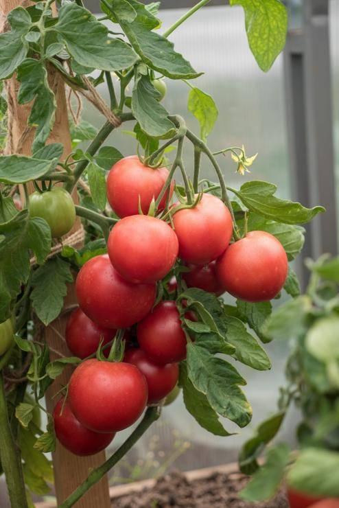 Помидоры ранняя любовь: описание и характеристика сорта, выращивание томата