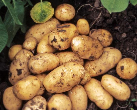Картофель гранада — описание сорта, фото, отзывы, посадка и уход