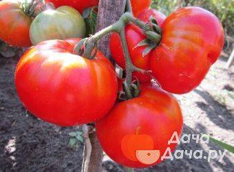 Характеристика и описание томата «сибирский козырь»