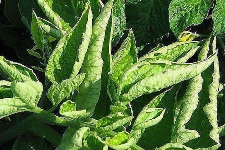 Почему у рассады помидор скручиваются листья