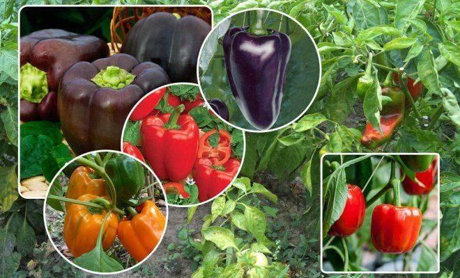 Выращивание перца в подмосковье в открытом грунте и теплице