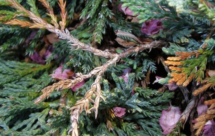 Болезни и вредители можжевельника: симптомы, причины, способы борьбы
