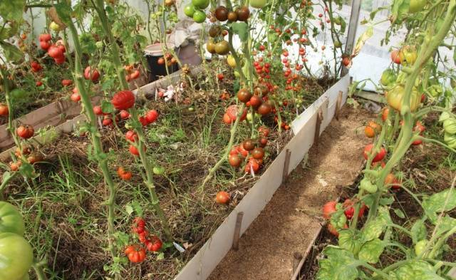 Необычное название сорта томата — «клубничное дерево», описание гибрида сибирской селекции