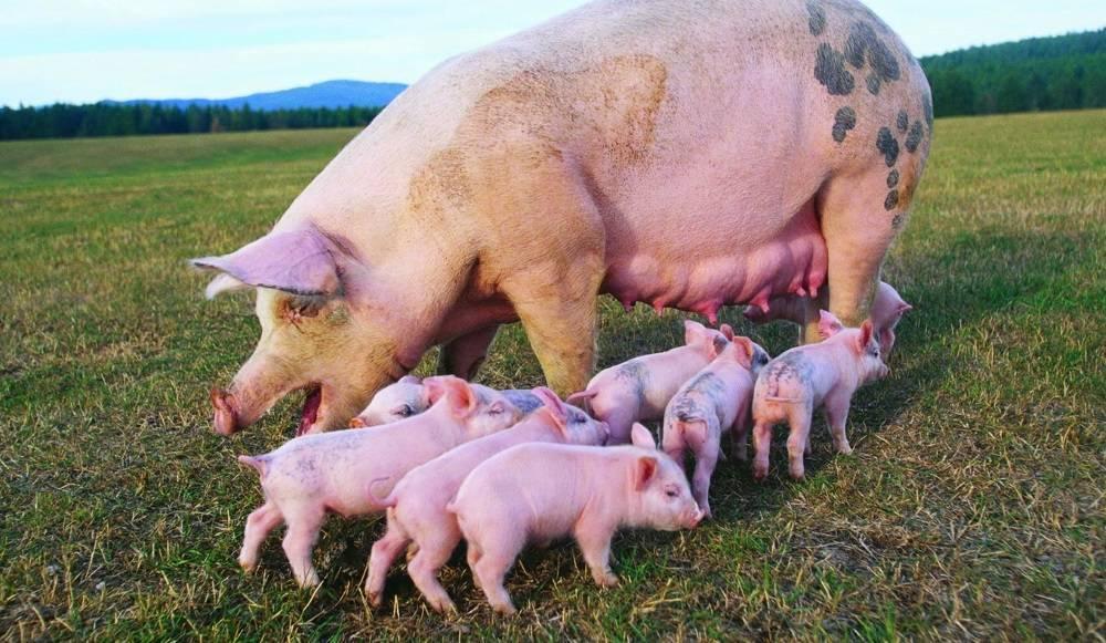 Разведение и содержание свиней в домашних условиях