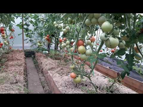 Когда высаживать рассаду помидоров в парник