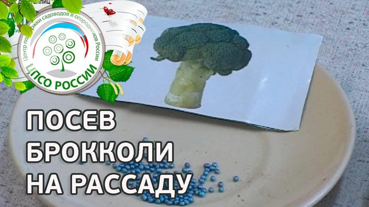 Секреты выращивания капусты брокколи в средней полосе