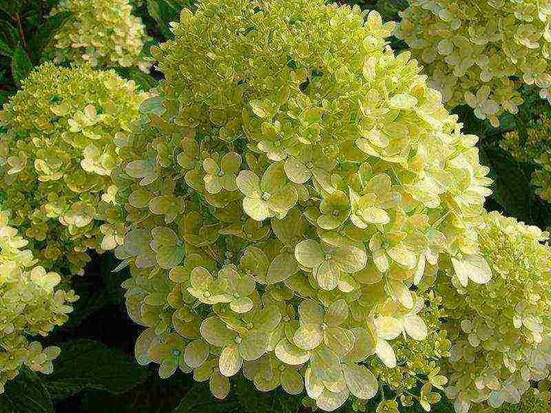 Гортензия метельчатая: лучшие сорта и уход в открытом грунте