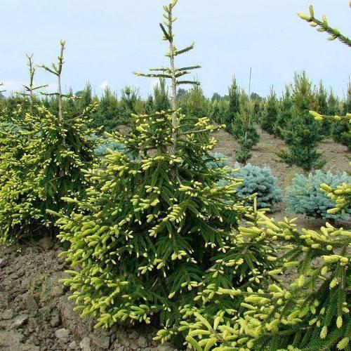 Дерево ель: посадка и уход, фото, выращивание зимой и осенью, виды и сорта