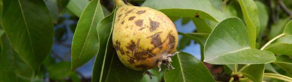 Чем обработать грушу от плодовой гнили. гниют плоды груши на дереве: что делать. бактериальный ожог груши: лечение и профилактика