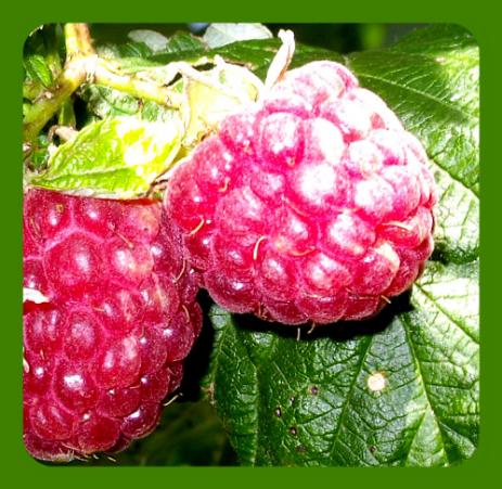 Ранняя штамбовая малина сказка: характеристики, урожайность, агротехника