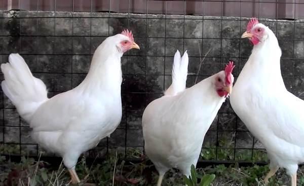 Куры леггорн (23 фото): описание породы и ее разновидностей. полосато-пестрый, кукушечно-куропатчатый и леггорн-далматинец. яйценоскость птиц, отзывы