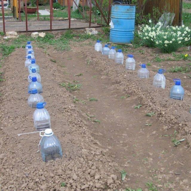 Как я выращиваю огурцы.