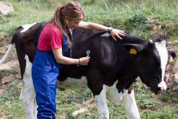 У коровы встал желудок. что делать в домашних условиях?