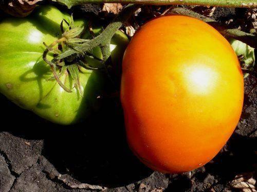 Томат сорта гигант лимонный: для любителей крупных жёлтых помидоров