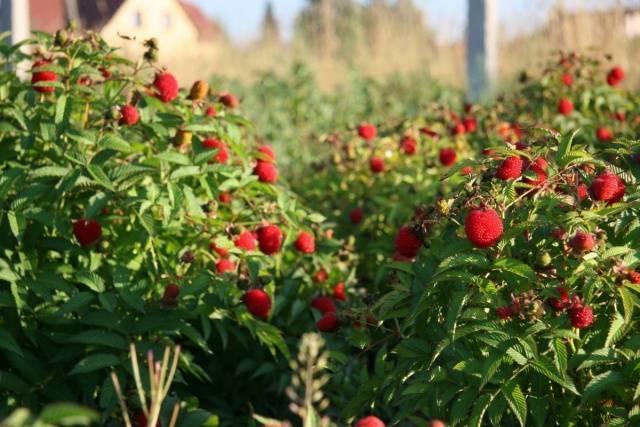 Малина сорта карамелька: история селекции, характеристика, агротехника
