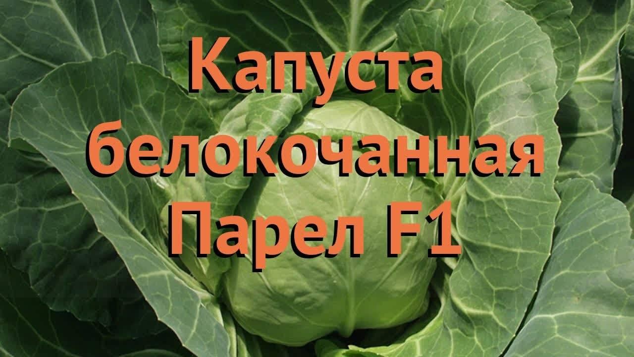 Характеристика и описание гибрида капусты парел f1, выращивание и уход