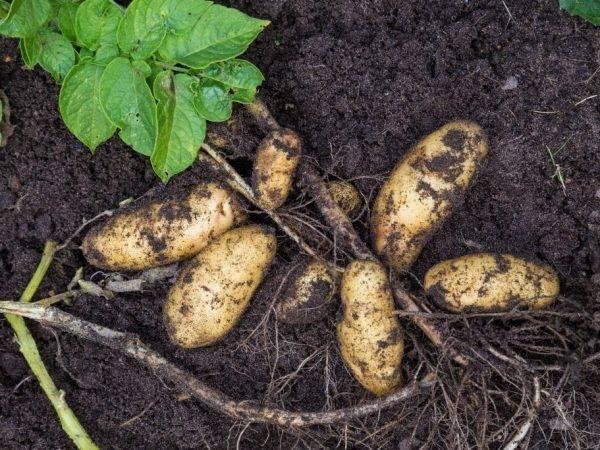 Картофель «гранада»: сорт с высокой отдачей клубней