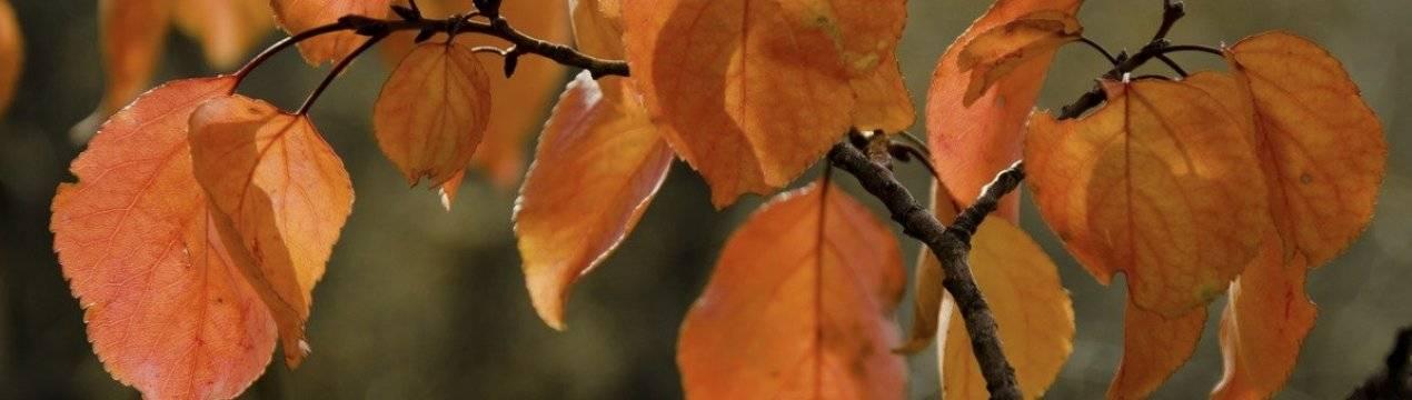 Можно ли обрезать грецкий орех осенью