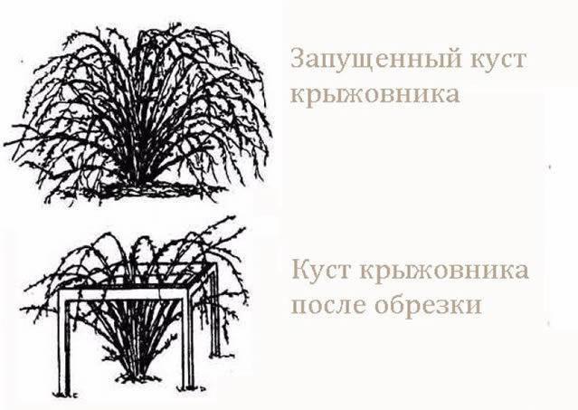Сорт крыжовника колобок
