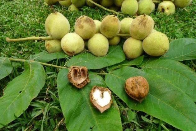 Сердцевидный орех: выращивание в Подмосковье