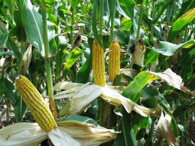 Названия сортов кукурузы для попкорна, их выращивание и хранение