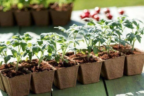 Выращивание рассады томатов для теплицы