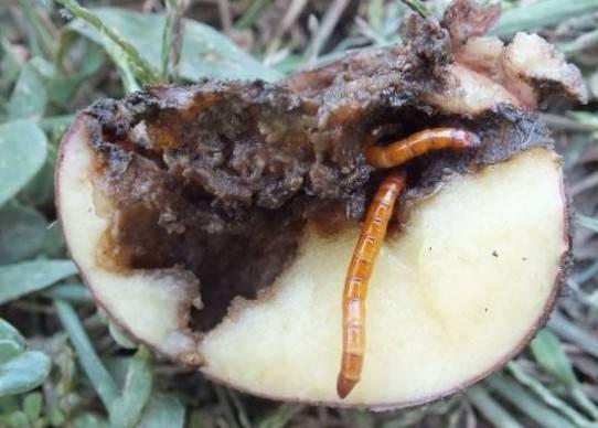 Вредители картофеля: фото, описание и борьба с ними