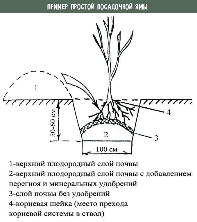 Посадка жимолости на дачном участке: где, когда и сколько кустов лучше сажать