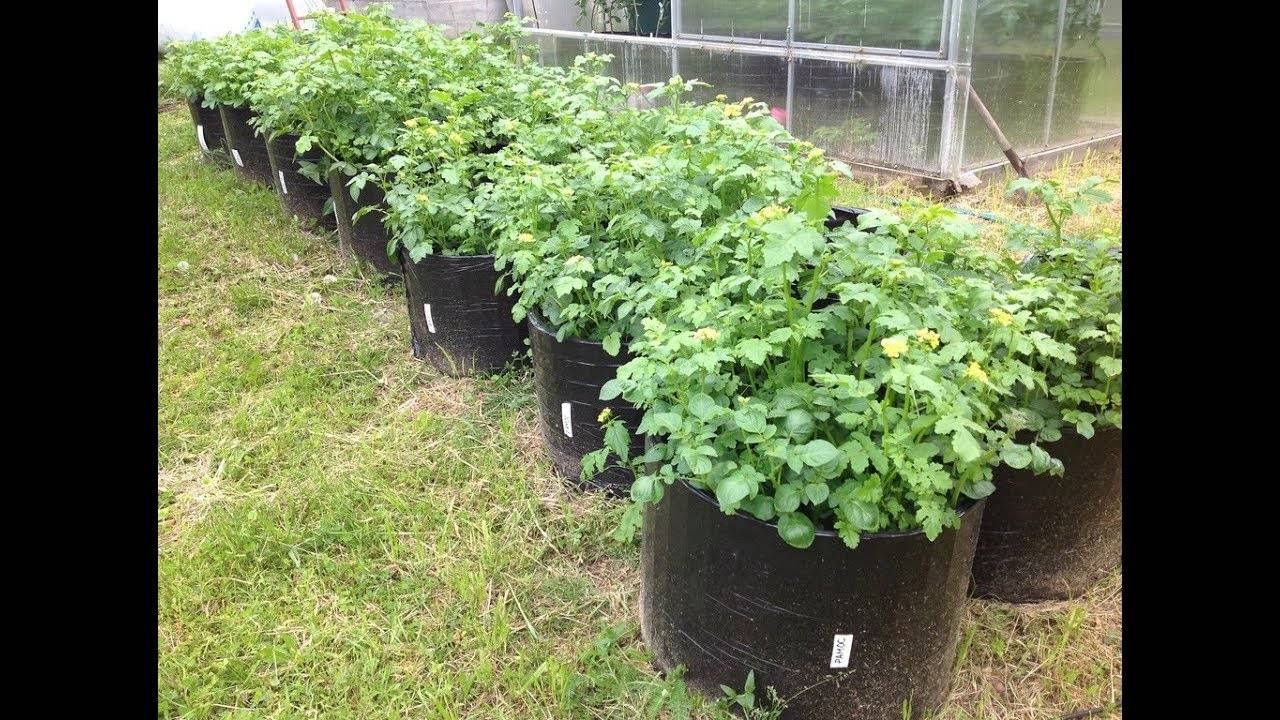 Выращивание картофеля в мешках