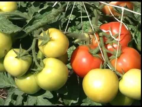 Выращивание томатов в открытом грунте и теплице в Подмосковье