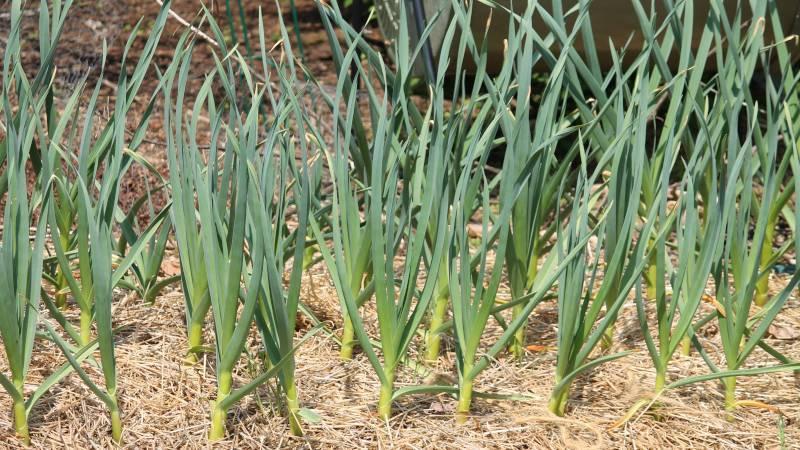 Когда завязывать чеснок в листья — особенности, описание и рекомендации