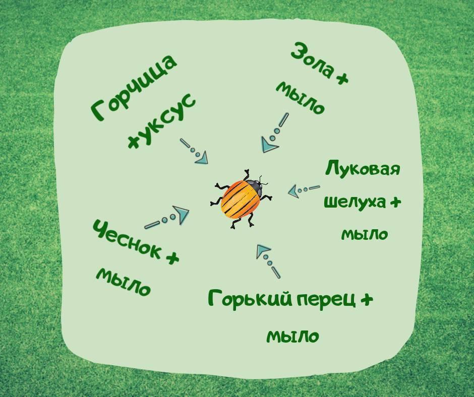 От колорадского жука горчица и уксус: отзывы