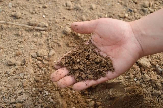 Когда и как проращивать картофель для посадки
