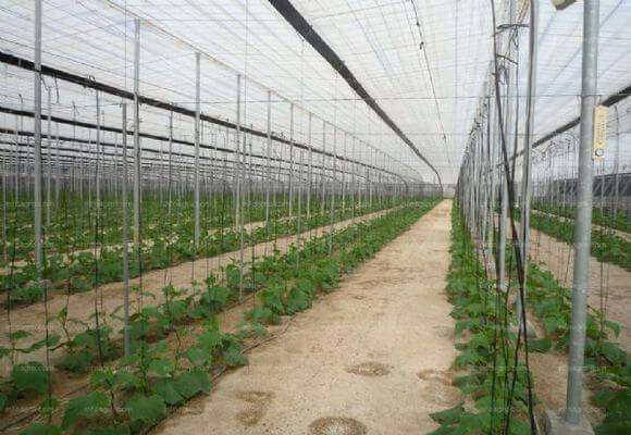 На какую сторону посадить огурцы в теплице. схема посадки огурцов в теплице. высев семян в защищенный грунт