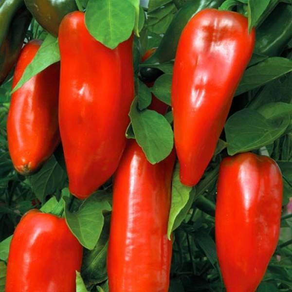 Болгарский перец «красный бизон» — описание сорта