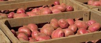 Как грамотно выбратьсорт картофеля на хранение на зиму?
