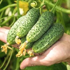 Выращивание огурца шоша