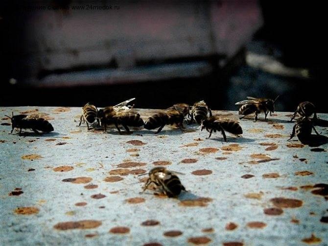 При лечении каких заболеваний у мужчин применяют подмор пчелиный?
