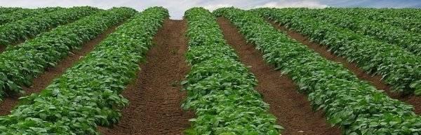 Посадка картофеля голландским способом: схема